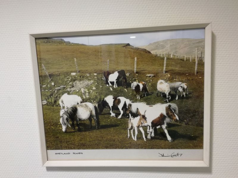 Dennis Coutts - Shetland Ponies